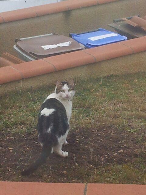 Perdu chat noir et blanc à Colomiers 20150212
