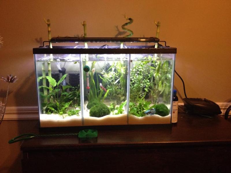 La Nouvelles aquarium de betta et un réamenagement de l'autre :D 10965610