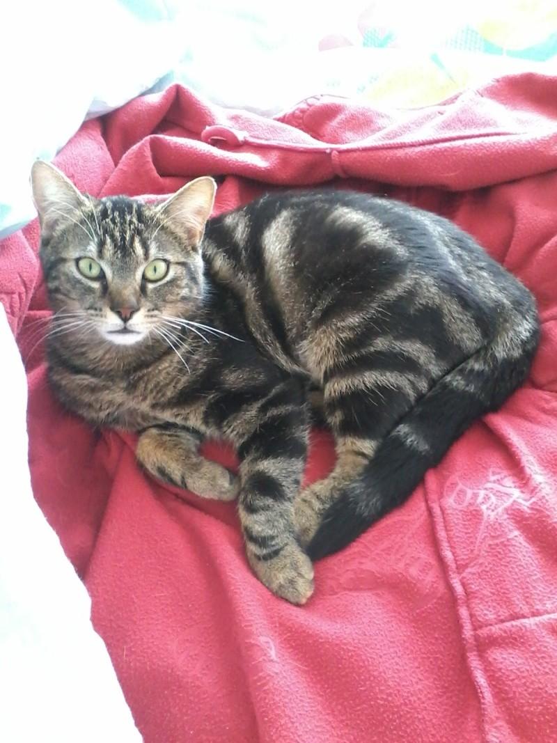Jilly, femelle type européenne tigrée née 1er avril 2014 Jilly_11