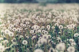 The Dandelion Fields. Dandel10
