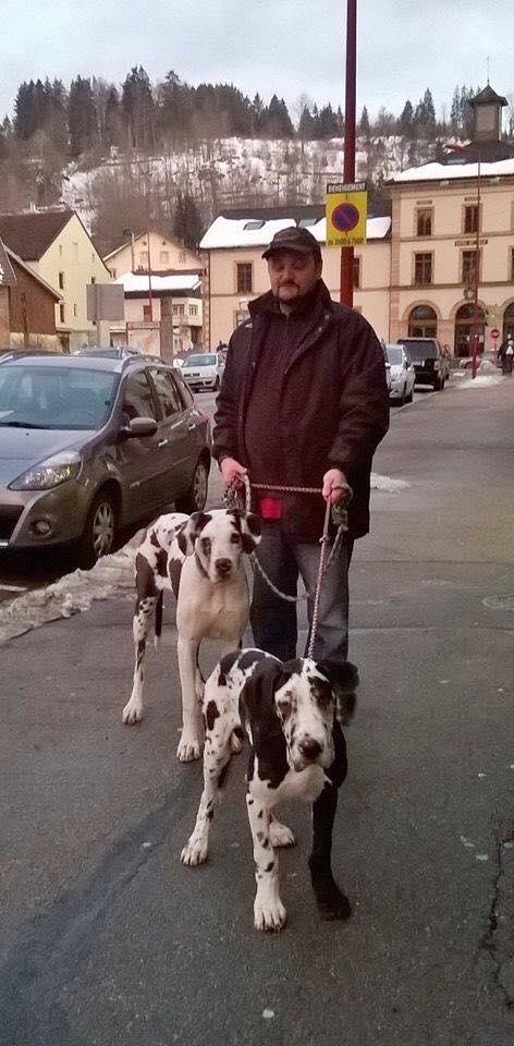 JENNY, F-Type DOGUE ALLEMAND, née 2013 (Etela) Prise en charge Asso Dogue Allemand Notre 11004810