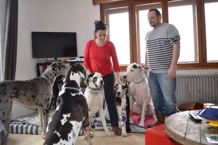 JENNY, F-Type DOGUE ALLEMAND, née 2013 (Etela) Prise en charge Asso Dogue Allemand Notre 11016410