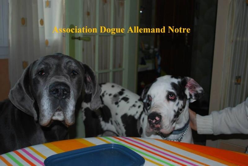JENNY, F-Type DOGUE ALLEMAND, née 2013 (Etela) Prise en charge Asso Dogue Allemand Notre Jenny113