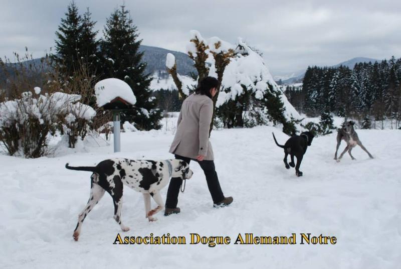 JENNY, F-Type DOGUE ALLEMAND, née 2013 (Etela) Prise en charge Asso Dogue Allemand Notre Jenny115