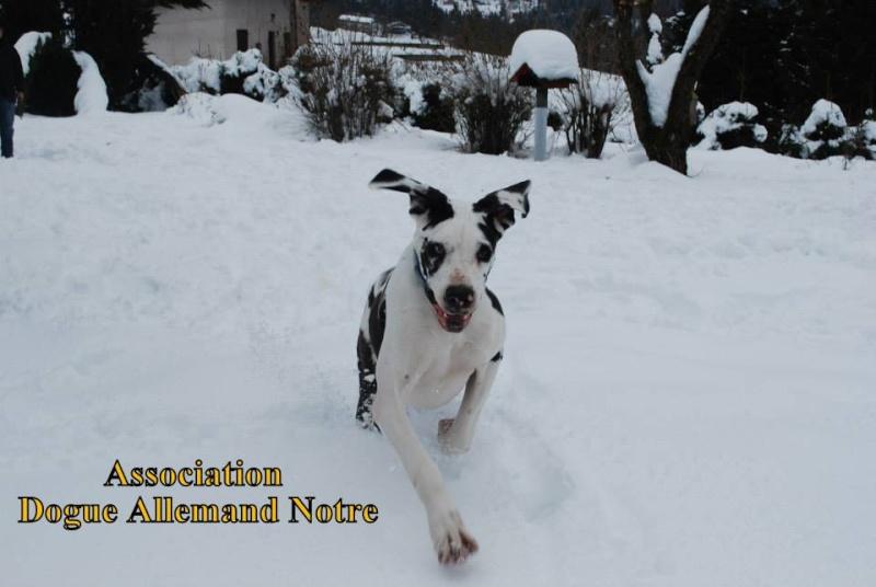 JENNY, F-Type DOGUE ALLEMAND, née 2013 (Etela) Prise en charge Asso Dogue Allemand Notre Jenny117