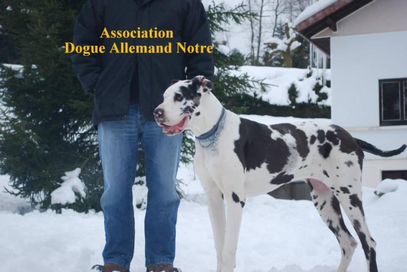 JENNY, F-Type DOGUE ALLEMAND, née 2013 (Etela) Prise en charge Asso Dogue Allemand Notre Jenny118