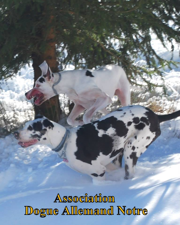 JENNY, F-Type DOGUE ALLEMAND, née 2013 (Etela) Prise en charge Asso Dogue Allemand Notre Jenny211