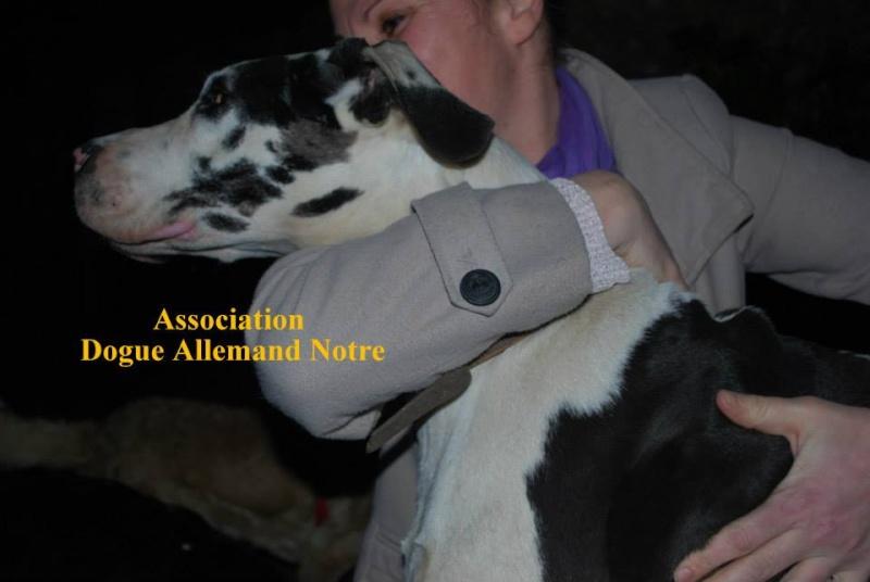 JENNY, F-Type DOGUE ALLEMAND, née 2013 (Etela) Prise en charge Asso Dogue Allemand Notre Jenny410