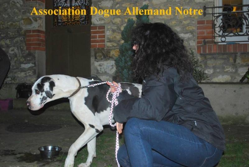 JENNY, F-Type DOGUE ALLEMAND, née 2013 (Etela) Prise en charge Asso Dogue Allemand Notre Jenny610