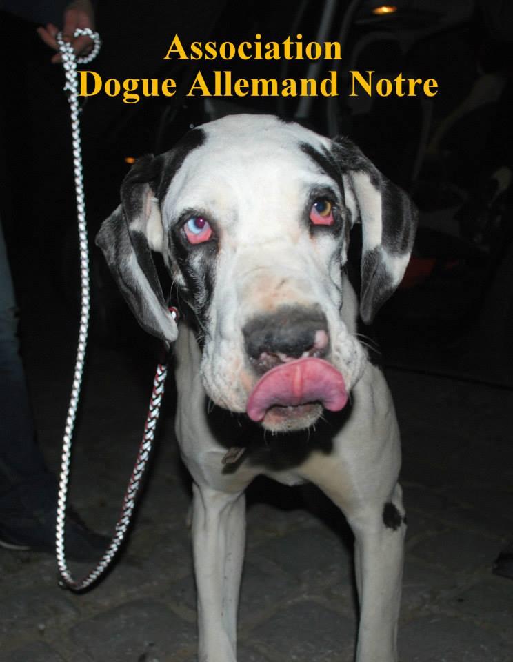 JENNY, F-Type DOGUE ALLEMAND, née 2013 (Etela) Prise en charge Asso Dogue Allemand Notre Jenny810