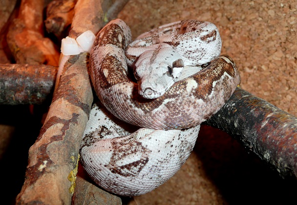 "Boa constrictor imperator ""Crawl Cay"" - Page 2 75410"