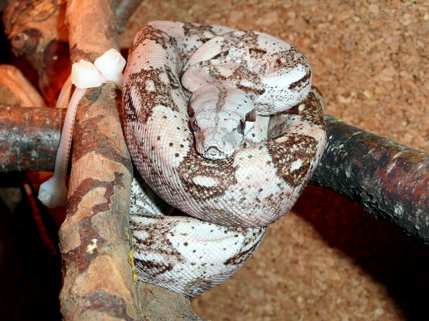 "Boa constrictor imperator ""Crawl Cay"" - Page 2 758410"