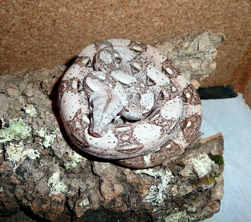 "Boa constrictor imperator ""Crawl Cay"" - Page 2 Bcicc_10"