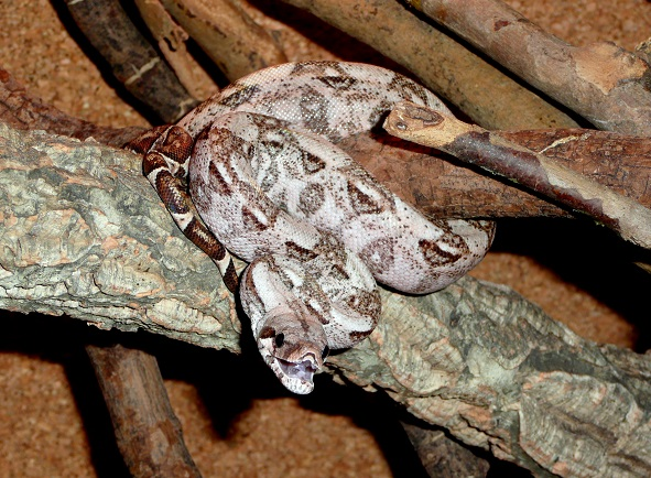 "Boa constrictor imperator ""Crawl Cay"" - Page 2 Bcicc_12"
