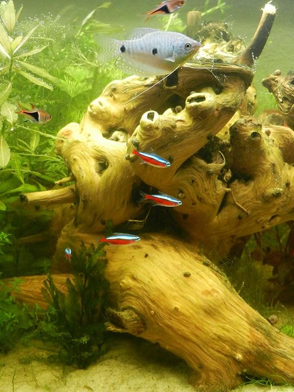 Mon aquarium de A à Z... C'est fini :( - Page 7 Dscn3414