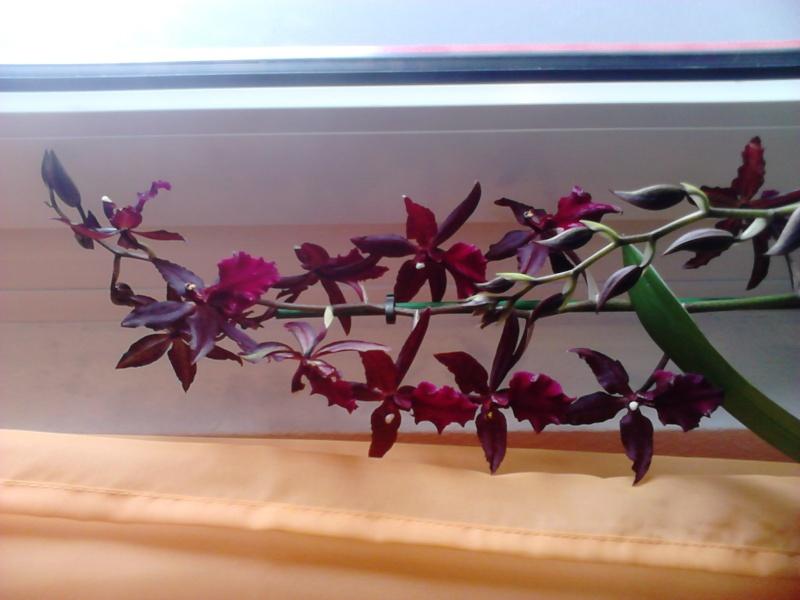 Massai Red Dsc_0013