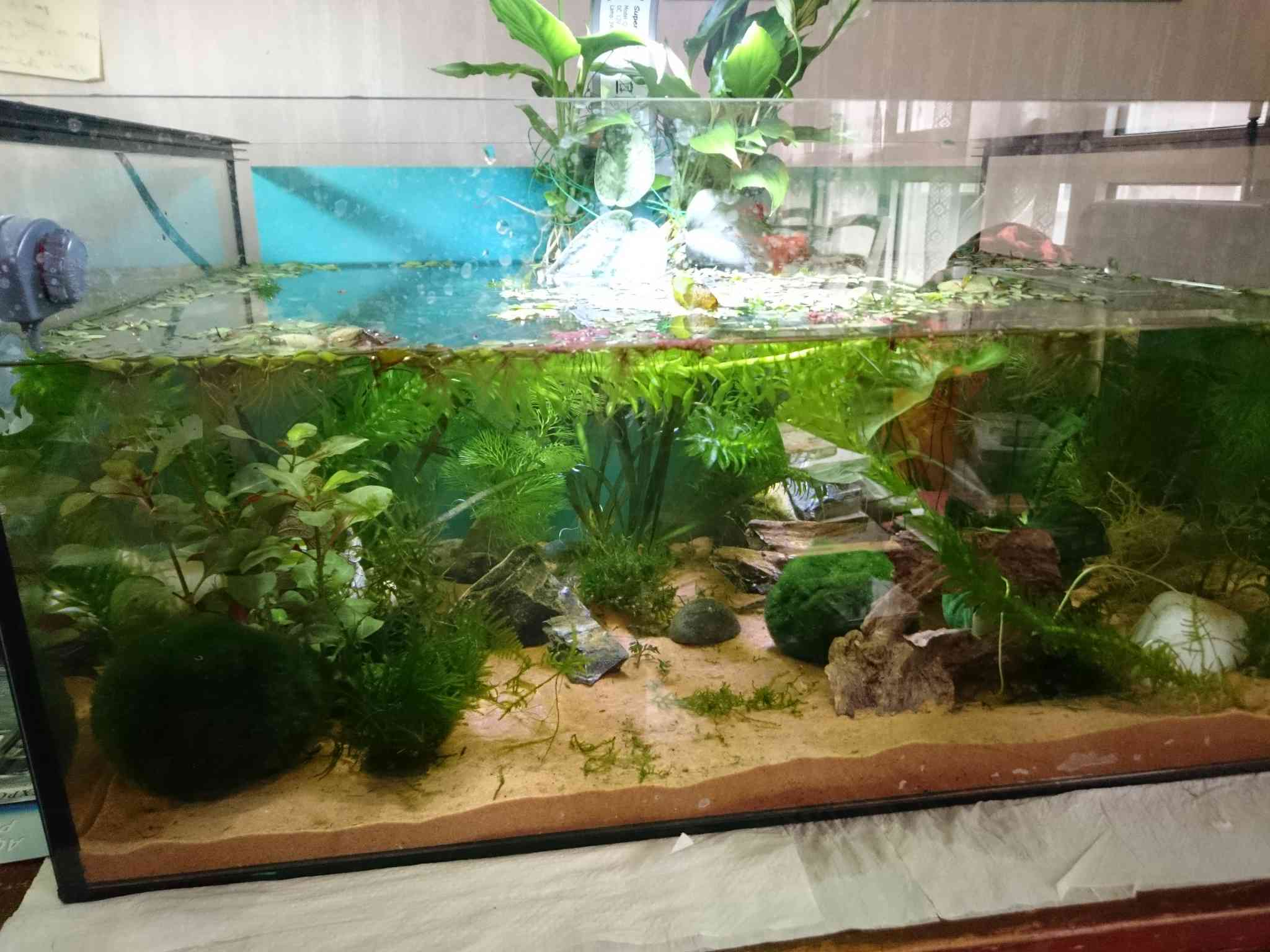 Mon bac planté pour axolotls  Dsc_0518