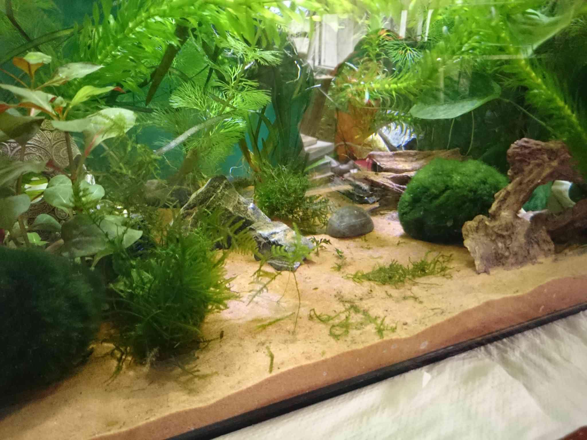 Mon bac planté pour axolotls  Dsc_0610