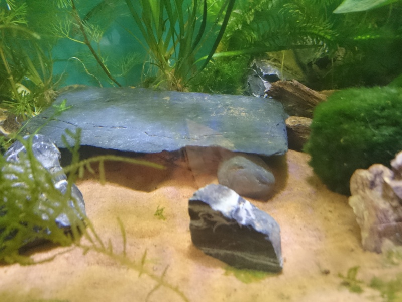Mon bac planté pour axolotls  Dsc_0615