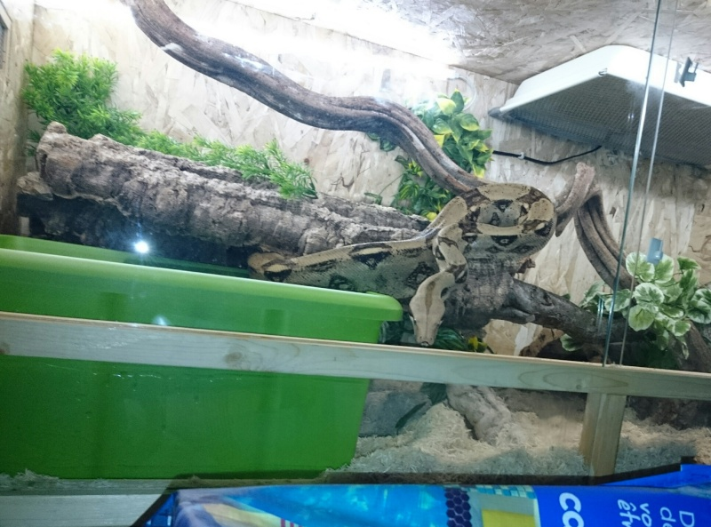"""Boa constrictor imperator """"colombien"""" Img_2063"""