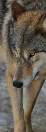 Wolf Information - Elsbeth of Helidos Elspp210