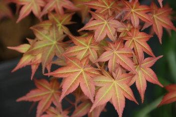 Deshojo Maple by layering Shin_d10