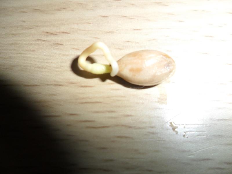 """""""Faire """"ses propres plantes a partir de pepin ou de noyau Sam_1217"""