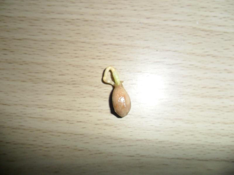 """""""Faire """"ses propres plantes a partir de pepin ou de noyau Sam_1222"""