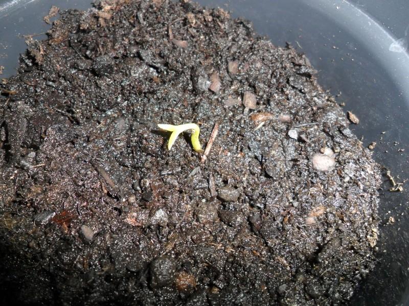 """""""Faire """"ses propres plantes a partir de pepin ou de noyau Sam_1414"""