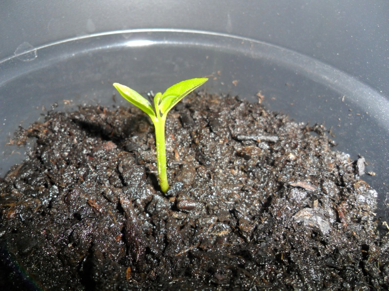 """""""Faire """"ses propres plantes a partir de pepin ou de noyau Sam_1528"""