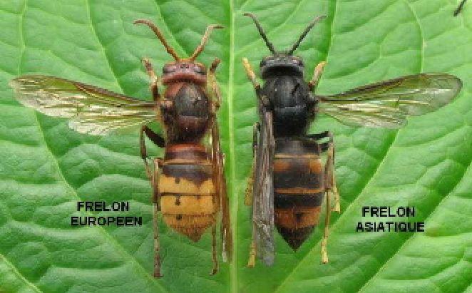 Le frelon asiatique, cet envahisseur, tueur d'abeilles ! Frelon10