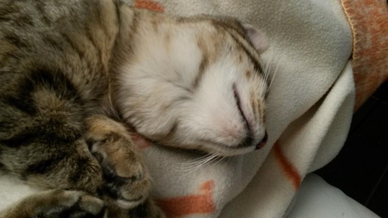 Salsa, femelle type européenne tabby née le 17/04/2014 20150112