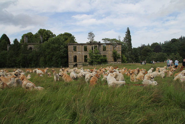 Le Golden Retriever Festival de Scotland 94356111