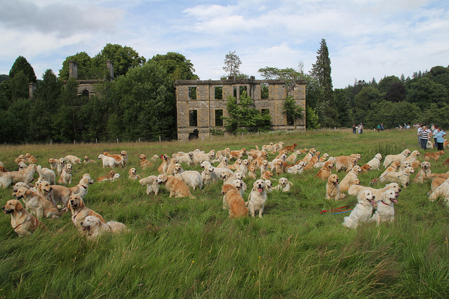 Le Golden Retriever Festival de Scotland 94356311