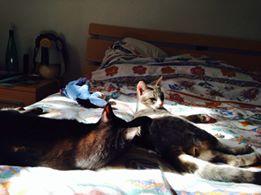 jean s - Jean's, chaton de type européen gris tabby et blanc, né le 06/09/2014 11008410