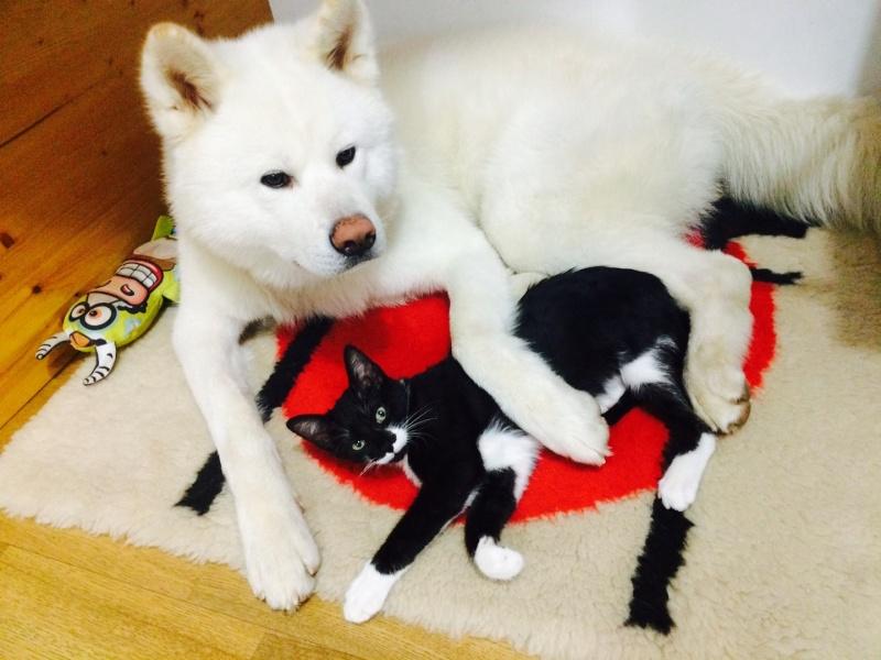 JEFFERSON, chaton mâle noir et blanc, né le 20/08/14 Image110