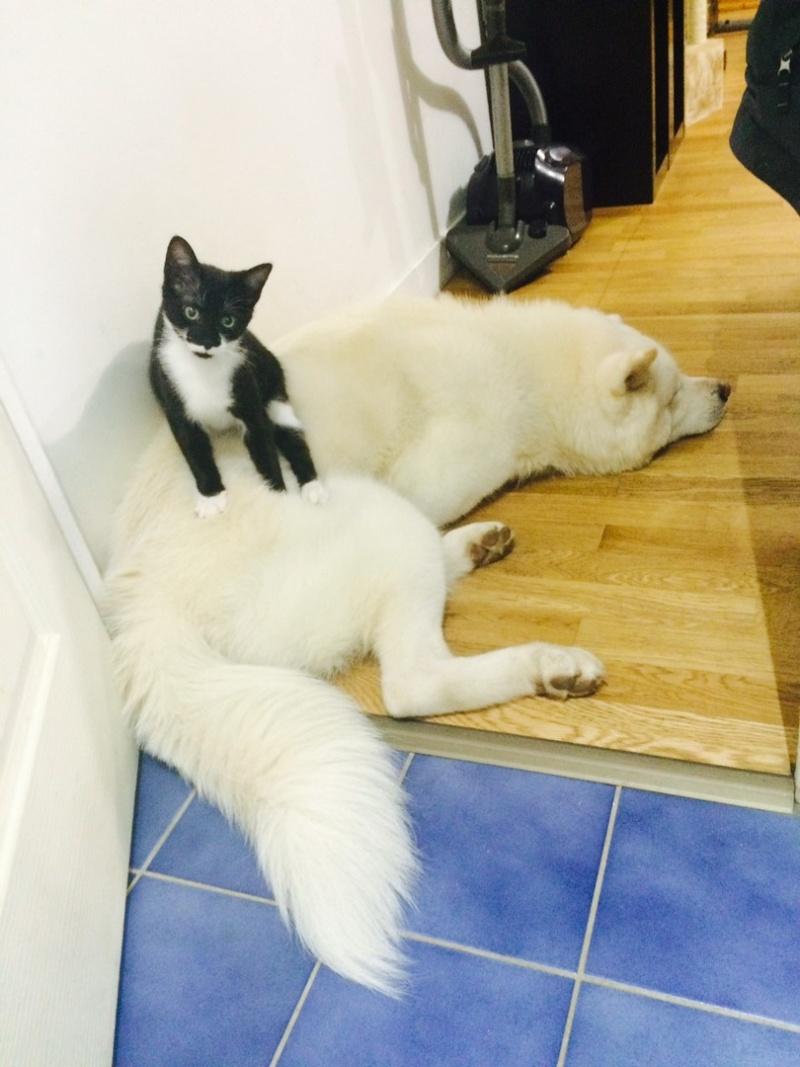 JEFFERSON, chaton mâle noir et blanc, né le 20/08/14 Image210