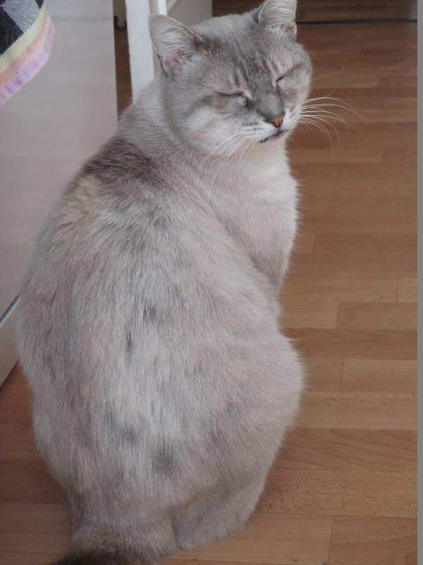 Erkan, mâle croisé siamois beige et crème, né en 2009  Img_3210