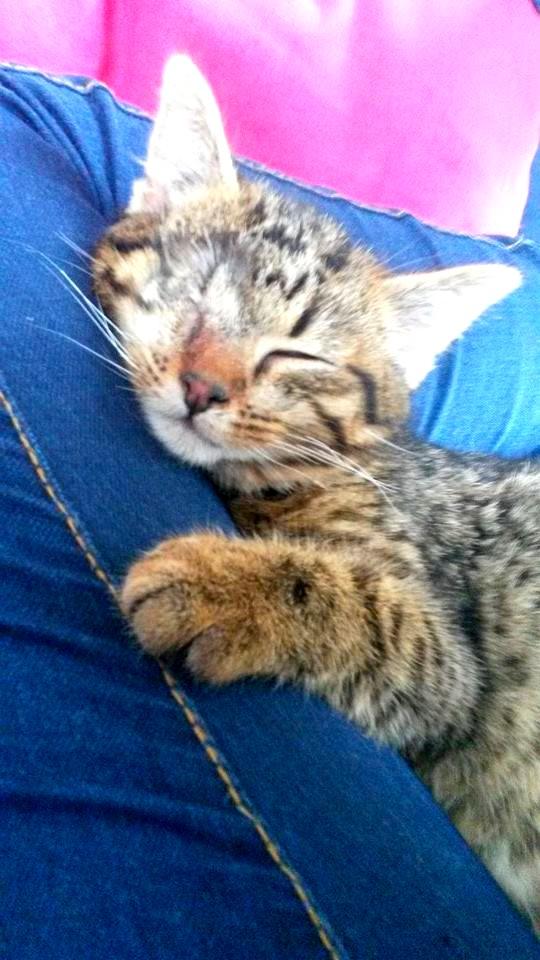 Albator, mâle type européen tigré né 15/10/2014 10962110