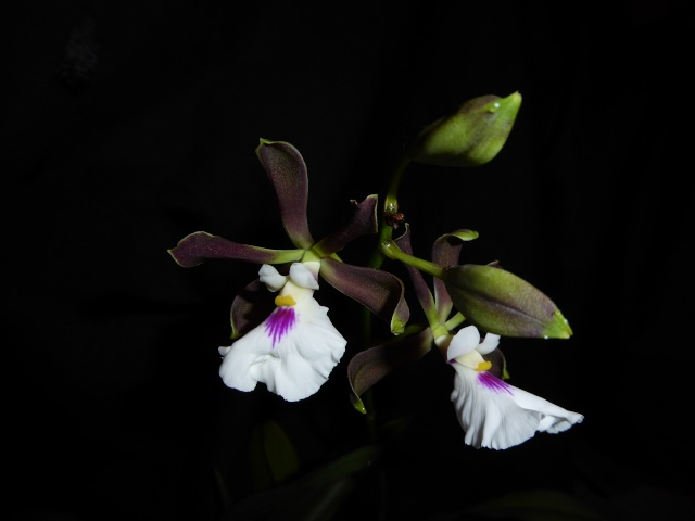 Encyclia cordigera P1010327