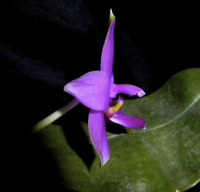 Phalaenopsis violacea - Seite 3 P1010329