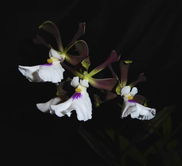 Encyclia cordigera - Seite 2 P1010339