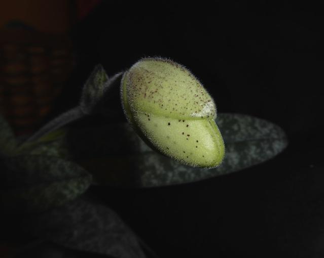 Paphiopedilum concolor P1010615