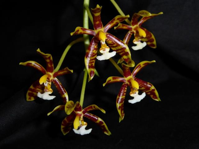 Phalaenopsis mannii - Seite 2 P1010616