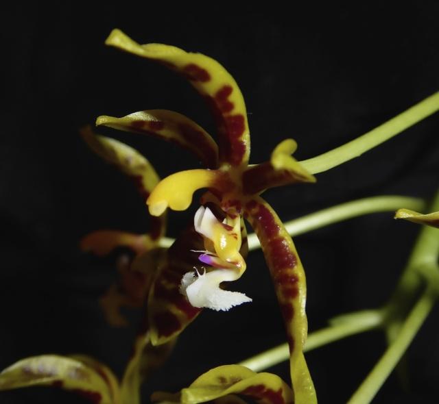 Phalaenopsis mannii - Seite 2 P1010617