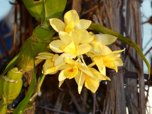 Münchner Orchideenausstellung! P1010715