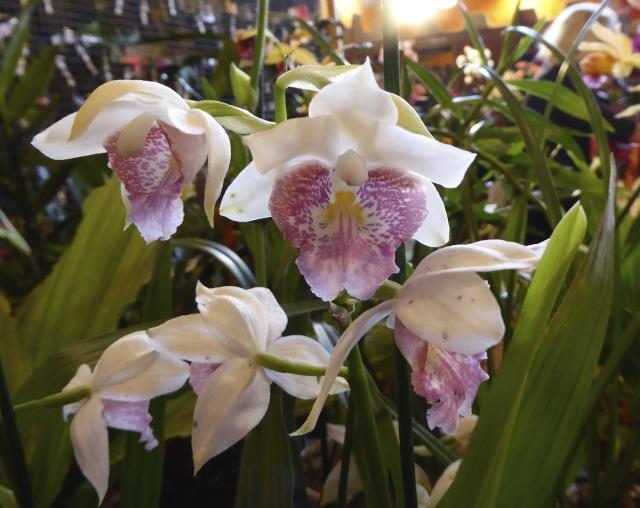 Münchner Orchideenausstellung! P1010716