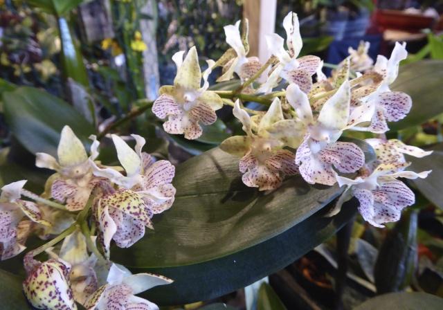 Münchner Orchideenausstellung! P1010717