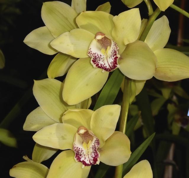 Münchner Orchideenausstellung! P1010719