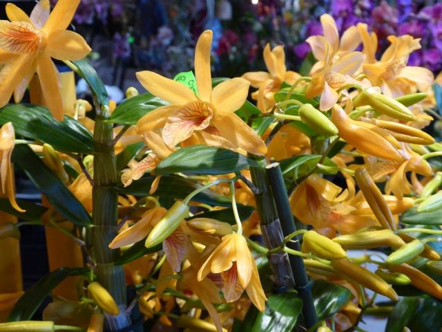 Münchner Orchideenausstellung! P1010721